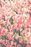 La morbidezza astratta del fondo ha messo a fuoco l'annata dei fiori di sakura filtrata Immagini Stock Libere da Diritti
