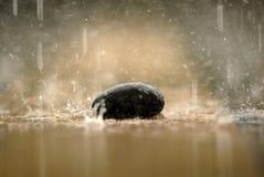 La morbidezza ha messo a fuoco della pietra di zen, una roccia nella pioggia Immagine Stock