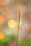 La morbidezza ha messo a fuoco di erba con un fondo variopinto Fotografie Stock