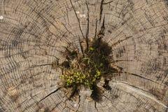 La mort d'un vieil arbre La texture de l'arbre dans le tronçon image stock