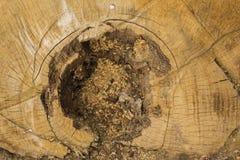 La mort d'un vieil arbre La texture de l'arbre dans le tronçon images libres de droits