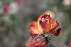 La mort a monté dans le jardin tiré avec le copyspace Le rouge et le séchage rose de fleur d'orange sur la vapeur en automne font Image libre de droits