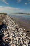 La morte di massa del pesce nello stato del Texas Il fiume Colorado Immagini Stock Libere da Diritti