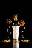 La morte di un girasole Fotografia Stock Libera da Diritti