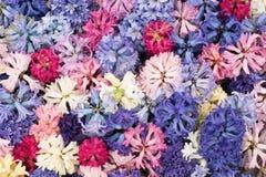 La mosaïque de la jacinthe de floraison fleurit dans le jardin de keukenhof, Pays-Bas Images libres de droits
