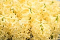 La mosaïque de la jacinthe de floraison fleurit dans le jardin de keukenhof, Pays-Bas Image stock