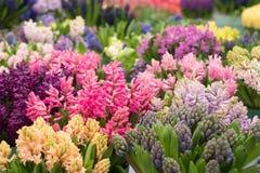 La mosaïque de la jacinthe de floraison fleurit dans le jardin de keukenhof, Pays-Bas Photos stock