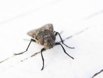 La mosca fotografia stock