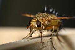 La mosca Fotografia Stock Libera da Diritti
