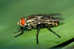 La mosca Imágenes de archivo libres de regalías