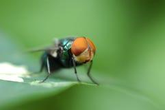La mosca Imagen de archivo libre de regalías