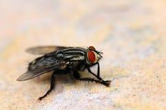 La mosca Imagenes de archivo