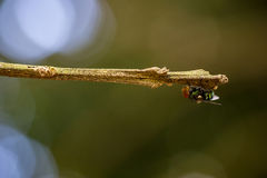 La mosca Fotografie Stock