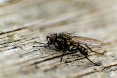La mosca Immagini Stock Libere da Diritti