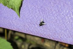 La mosca blu della bottiglia si siede su una superficie di legno porpora Fotografie Stock