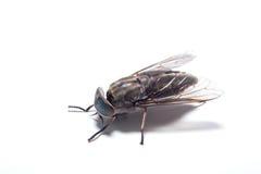 La mosca común Fotos de archivo