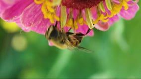 La mosca como una abeja recoge el néctar de una flor Al revés almacen de metraje de vídeo