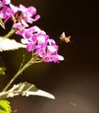 La mosca de abeja grande Imágenes de archivo libres de regalías
