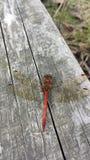 La mosca de Drangon en la pesca grande el rojo se va volando el cuerpo Foto de archivo