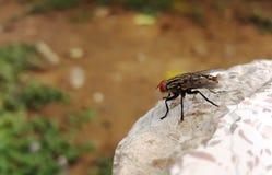 La mosca de la casa en la tabla blanca busca la comida Imagen de archivo