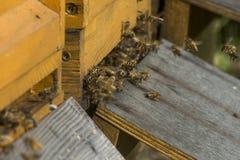 La mosca de la colmena de la abeja de la miel adentro lleva el funcionamiento del pollum Fotos de archivo libres de regalías