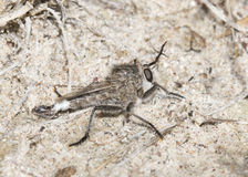 La mosca de ladrón (Asilidae de la familia) espera en emboscada en Sandy Habitat Foto de archivo libre de regalías