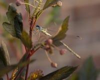 La mosca del Damsel si è appollaiata su una pianta delle nove cortecce Fotografia Stock Libera da Diritti