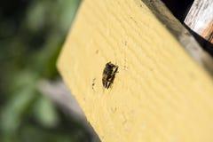 La mosca del fuco si siede su una superficie di legno Fotografia Stock Libera da Diritti