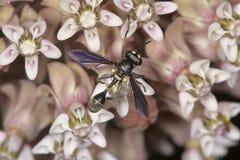 La mosca del imitador de la avispa en milkweed florece en el coto de Belding, Connecti Imagenes de archivo