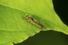 La mosca del soldado se asemeja a una avispa en una hoja en Connecticut Foto de archivo libre de regalías