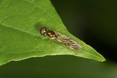 La mosca del soldado se asemeja a una avispa en una hoja en Connecticut Fotografía de archivo libre de regalías