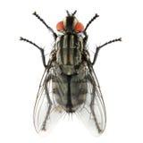 La mosca della Camera (musca domestica). Immagini Stock Libere da Diritti