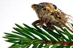 La mosca della cicala si siede su un ramo conifero verde Immagini Stock Libere da Diritti