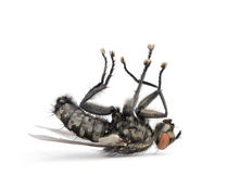 La mosca di carne che si trova sopra appoggia contro priorità bassa bianca Fotografie Stock Libere da Diritti