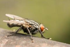 La mosca doméstica común Fotografía de archivo libre de regalías