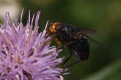 La mosca doméstica que se sentaba en un gitano hermoso subió Foto de archivo libre de regalías