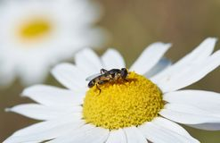 La mosca gialla nero- mangia il nettare della camomilla Immagini Stock Libere da Diritti