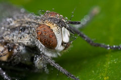 La mosca grigia coperta di gocce di rugiada piove le gocce Immagini Stock Libere da Diritti