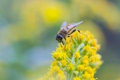 La mosca imita la abeja en la flor amarilla Fotos de archivo libres de regalías