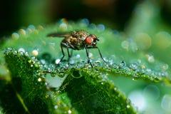 La mosca nella rugiada Fotografia Stock
