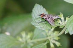 La mosca rayada gris con rojo observa en la hoja verde Fotos de archivo libres de regalías