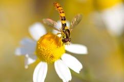 La mosca rayada se sienta en una manzanilla y la poliniza Fotos de archivo