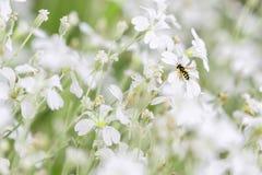 La mosca rayada Syrphidae ayuda a la polinización en el jardín en primavera Imagenes de archivo