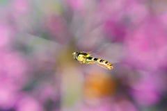 La mosca rayada vuela sobre un prado floreciente Fotos de archivo libres de regalías