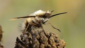 La mosca ronzata con le proboscide lunghe video d archivio