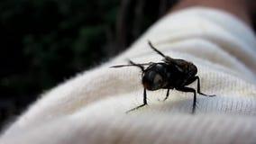 La mosca se está preparando para sacar, para lavar y para limpiar las alas