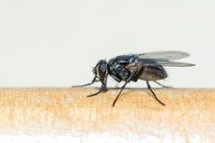 La mosca se sienta en superficie Foto de archivo libre de regalías