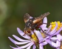 La mosca se sienta en una flor Imagen de archivo libre de regalías