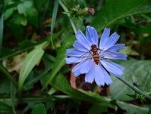 La mosca se sienta en una flor azul Fotografía de archivo