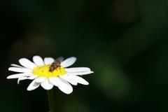 La mosca se sienta en una manzanilla Imagen de archivo